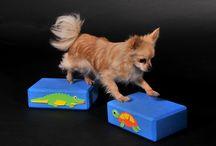 Moje čivavy / My dogs chihuahua