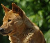 Dingos d'Australie