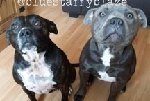 Staffie Love / A place for Staffie owners and Staffie lovers to unite!    https://boughtbymany.com/offers/staffordshire-bull-terrier-pet-insurance/