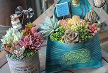 succulents / pozsgások