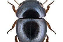 cybocephalidae