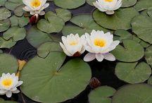water lily poppy