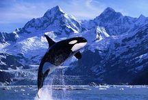 Fauna - дельфины - Касатки