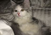 Elsa the Siberian Forest Cat Kitten / Elsa the Siberian Forest Cat Kitten, with videos on youtube in the future!  / by Prepper Babe