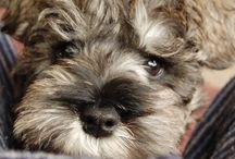 MY DOG / 3 shunauzers so adorable  U^ェ^U