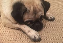 Basil my Pug / Dog