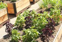 Victory Gardens - Commercial and School Gardens / by Victory Gardens