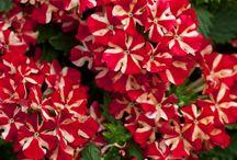 Virágok)(Flowers