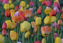 tulip2 yg cantik