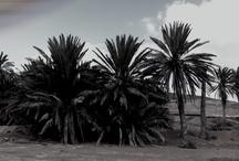 Palmeras en el barranco de la Torre en Fuerteventura.