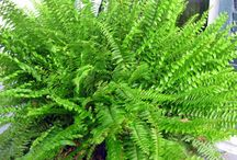 Ferns & how to divide