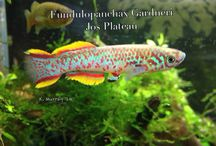 """Killifish / Such a small creature with so much character and beauty. Many are endangered due to diminishing habitat. My favourite """"collectible""""!"""