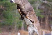 Deer / Jump big