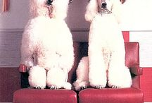 poodle heaven / About everything standard poodles of mine ,friens and what I see on poodle boards. While I have everything known to man about poodles this board  is all about pictures of poodles alone, with other poodles or with humans.  / by Pat Salmon