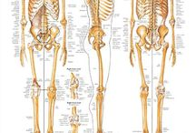 ! Musculoskeletal anatomy (upper/lower limbs +spine and back) / Feel free to repin as much as you like