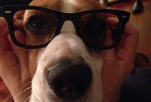Max :) / Beagle