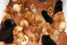 Pomeranian Dogs & Puppies / Pomeranian Dogs & Puppies
