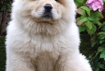 Chow chows / Chow Chows / by Muffie