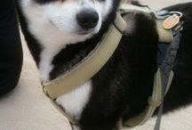 dog♥shiba