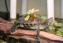 Red Eared Slider (RES) / About red eared sliders. Habitats, ponds, equipments, food.