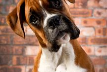 Boxer / by Tricia Severts-Marino