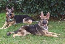 German Shepherd's / by Sheila Adamson Carter