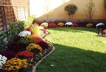 Chrysanthemum multiflora mums flower bed-gömb krizantém ágyás / Gardening