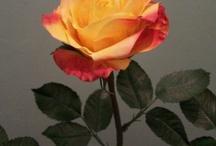 Rose Robert Haynes