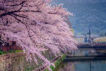 Japan / Sakura <3