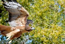 Raptor Releases / Once a raptor has been healed and cared for properly they can be released back to their home!