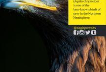 Eagle Species / Education about eagles. Enjoy!