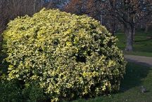 Large Shrubs / Large shrubs; 6 - 9 ft high / by Charity Brockman