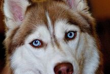 Huskies / by Sandra Miller