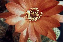 Eriocactus - Hamatocactus -Lobivia - Chamaecereus / digitalisierte Dias meines Vaters, Hans Hermann (1926-2001)