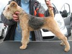 Lakeland Terrier / The International Dog's Personal Websites Catalogue
