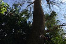 Le nostre querce / Se il tufo è la materia che ci caratterizza, la quercia è l'albero che da secoli l'accompagna...