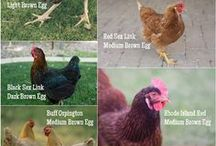 Chicken FACTS / 0