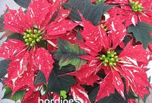 Poinsettias / Bordine-grown Poinsettias are a staple in any home! Visit us at www.bordines.com