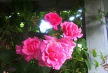 Green: Zone 8 Roses / Southeast humidity and heat zone.  Red clay. / by Cat Rennolds