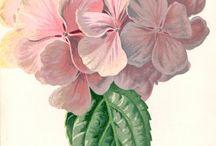 BOTANICA / botanical illustrations