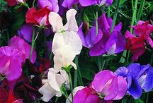Sweetpeas / Summer