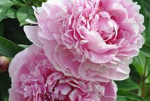 Peonies / by Jane Doe