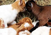 Goat farming tips