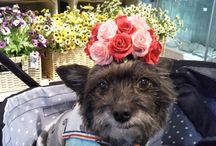 my dog / チワワ×トイプー チワプー ミックス犬 dog mix