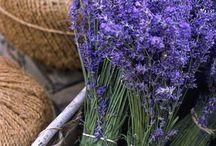 Lavender / Lavender plants