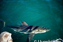 Shark cage diving / Certain areas of South Africa are famous for Shark cage diving, Gansbaai being most probably the main hot-spot for this activity. http://www.uyaphi.com/south-africa/day-tours/shark-diving.htm