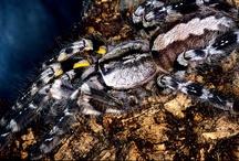 Indian Ornamental Tarantula