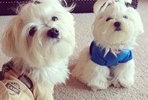 Our Bentley the Maltese and others like him...