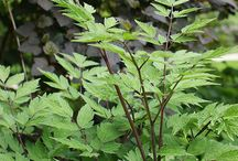 Cimicifuga Combinations / Plant partnerships that include snakeroots (Actaea or Cimicifuga)