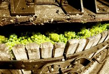 Champagne Harvest / the Beauty of growing and producing champagne in Champagne / France
